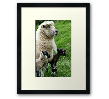 Proud Mum with Twins! - Sheep - NZ Southland Framed Print