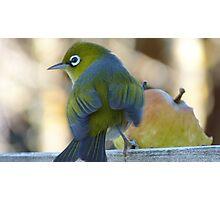 Flutter! - Silvereye - Wax Eye - New Zealand Photographic Print