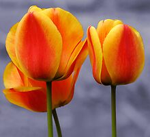 3 tulips by PeteG