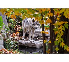 Timber Wolf by Pond Photographic Print