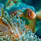 Eastern Skunk Anemonefish by vinny turner