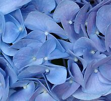 Blue Hydrangea Petals by Susan Sowers