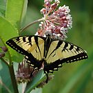 Swallowtail 1 by Anne Smyth
