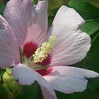 Rose of Sharon by Wanda  Mascari