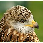 Red Kite by PaulH