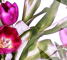 Tulips by PhotoAmbiance
