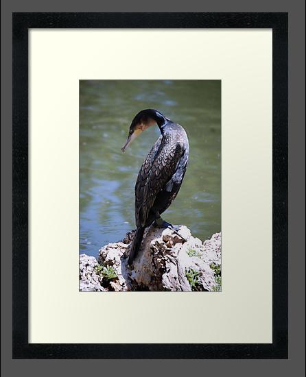 Cormorant by Anne Smyth