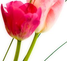 Two Spring Tulips by Chris Noakes