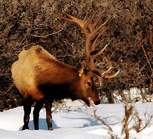 Bull Elk by Ryan Houston