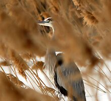 Hide & Seek - Blue Heron by Ryan Houston