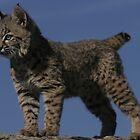 Baby Bobcat by Jessica Lynn