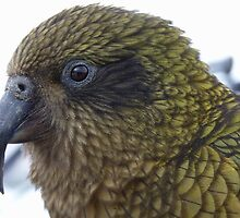 This is no laughing matter!  Kea - Queenstown - New Zealand by AndreaEL