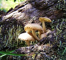 Fungi - Barrington Tops by Sarah Clibborn