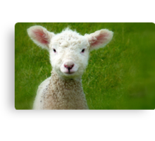 Mmm Whats that Mum!!! - Lamb - NZ - Southland Canvas Print