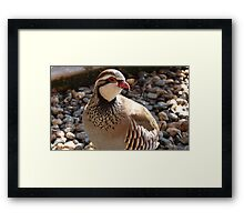 You're Amusing! - Red Legged Partridge - NZ - Southland Framed Print