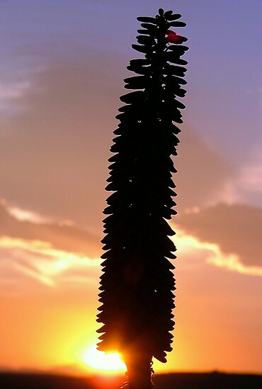 Good Morning Aloe Glory. by Chris Coetzee