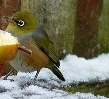 I did not ask for iced fruit! - Silvereye - NZ - Southland by AndreaEL