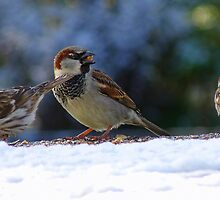 Thank you for the seed! - House Sparrow - NZ - Southland by AndreaEL