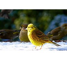 Glad the sun came out! - Yellow Hammer - NZ - Southland Photographic Print