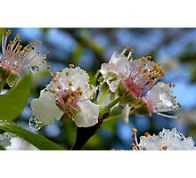 Natures Crystals - Plum Blossoms - NZ - Southland Photographic Print