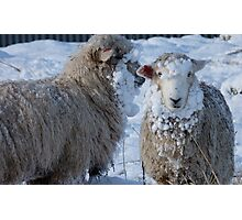 We got Hats & Scarves to match the Snow! - Sheep - NZ - Southland Photographic Print