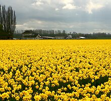 Field of Yellow by Tom Vaughan