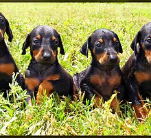 4 week old Doberman Puppies by cmcmillin77