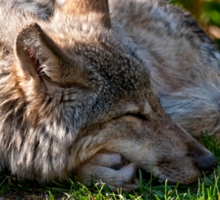 Sleeping Timber Wolf Sticker