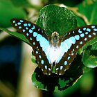 Blue Butterfly - Laguna Whitsundays by JenniferW