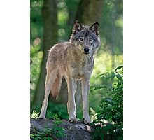 Timberwolf  Guardian Photographic Print