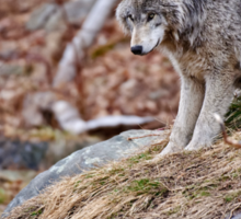 Timber Wolf sitting on Rocks Sticker