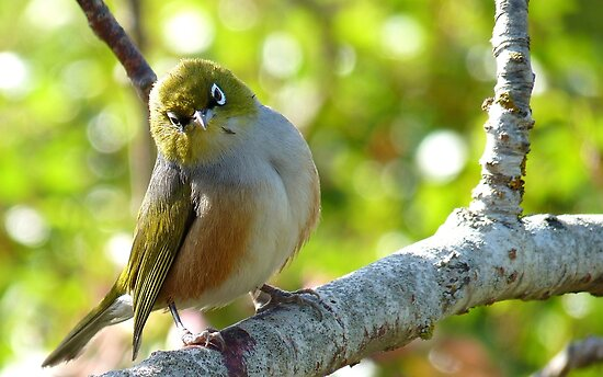 I'll Pose for your Today! - Silvereye - NZ Southland by AndreaEL