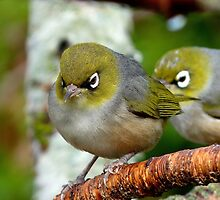 Are you following me? - Silvereye - NZ - Southland by AndreaEL