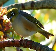Balancing on one foot! - Silvereye - NZ - Southland by AndreaEL
