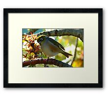 Balancing on one foot! - Silvereye - NZ - Southland Framed Print