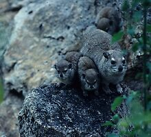A family of Rock Hyrax by bertspix