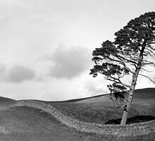 Galashiels Pine by Laurence Grayson