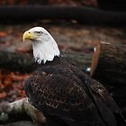 Majestic Bald Eagle by madman4