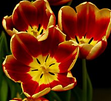 Red and Yellow Tulips by Swede
