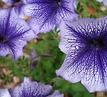 blue petunias by kveta