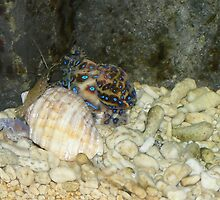 Lesser Blue Ringed Octopus by Sandra Chung