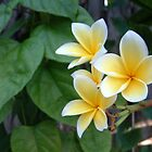 Yellow Frangipani by Cayobo