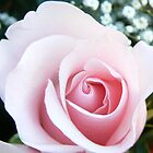 pink rose by angelawillene