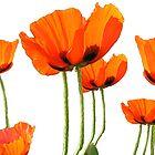 Poppies! by Linda  Tenenbaum