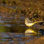 Grey wagtail by Jon Lees