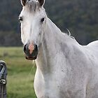 White mare by Christopher Meder
