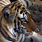 Bengal Tiger by Steve Bulford