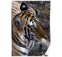 Bengal Tiger Poster