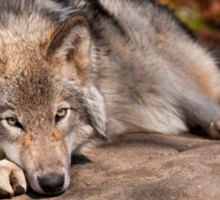 Timber Wolf At Rest Sticker
