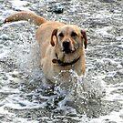 Labs Love Water............ by lynn carter